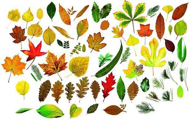Cu ntas hojas de rboles eres capaz de identificar for Arboles de hoja perenne para madrid