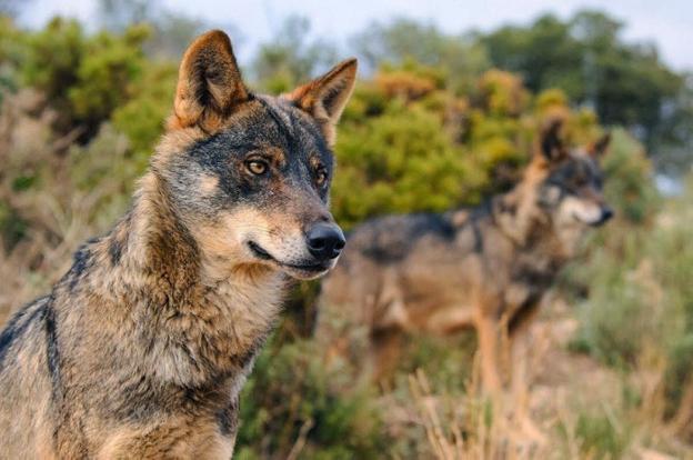 Una pareja de lobo ibérico, animal declarado en peligro de extinción en Andalucía. :: efe/