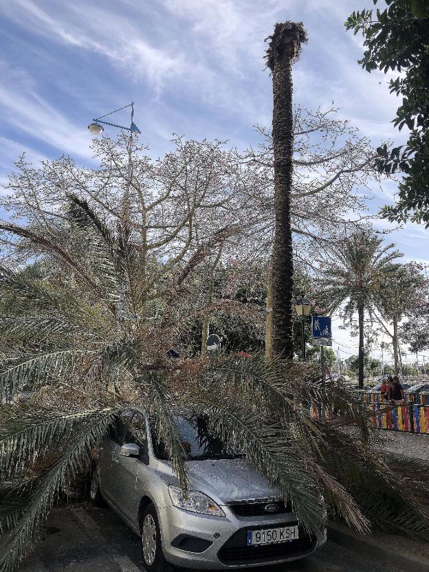 chute d'un palmier dattier à San Pedro de Alcantara -Josele