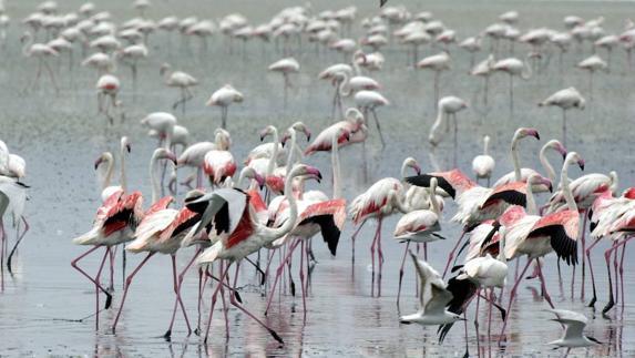 aaaaa2b96 Fuente de Piedra acoge a 11.000 parejas de flamenco rosa aptas para ...